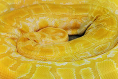 Coil up yellow boa Stock Photos