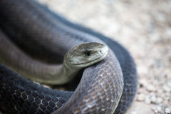 Coiled black mamba snake Stock Images