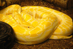 Coiled Burmese Python Snake Stock Photos