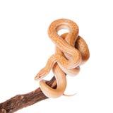 Coiled Cape House Snake on white backgroun Stock Photo