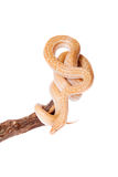 Coiled Cape House Snake on white background Stock Image