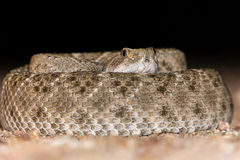 Coiled Diamondback Rattlesnake in Desert royalty free stock image