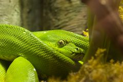 Coiled Emeral Tree Boa Corallus caninus. A coiled Emerald Tree Boa, Corallus caninus Stock Photo