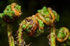 Crosiers of Broad buckler-fern. Coiled fresh young fern fronds, crosiers, of  Broad buckler-fern unfolding in spring Royalty Free Stock Image