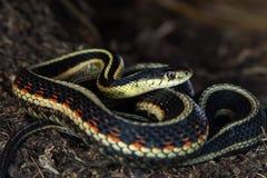Coiled garter snake Stock Image