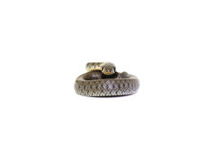 Coiled grass snake. Isolated on white background Stock Photo