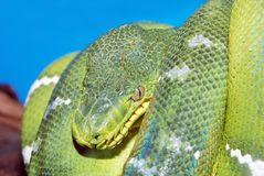 Coiled green boa snake Royalty Free Stock Image