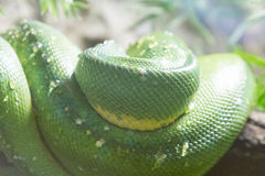 Coiled green snake sunning itself on a branch Royalty Free Stock Photos