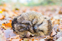 Coiled hedgehog lying and sleeping on leaves in fall Stock Photos