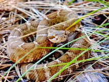 "Coiled Northern Pacific Rattlesnake, Castella, California, USA. ""Rattlesnakes are passive predators, often waiting for prey to find them. They royalty free stock photography"