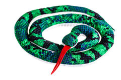 Coiled rag snake Royalty Free Stock Image