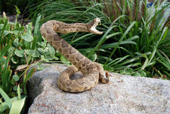 Free Coiled Rattle Snake On A Rock Stock Images - 3439994