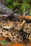 Coiled Rattler Stock Photos