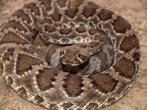 Coiled Rattler Royalty Free Stock Photos