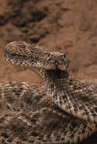 Coiled Rattler Royalty Free Stock Images