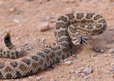 Coiled rattlesnake, Crotalus oreganus lutosus Royalty Free Stock Image
