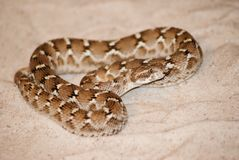 Coiled Saw-Scaled Viper laying on a bed of sand. Ready to strike stock photography