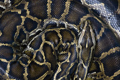 Coiled snake Royalty Free Stock Images