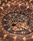 Coiled snake Royalty Free Stock Image