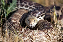 Coiled Snake in the Grass (natural habitat). A Bull Snake coiling its body in a defensive posture, wary of intrusion (shallow focus, focus point on head royalty free stock images