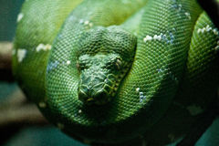 Coiled Snake Stock Photo