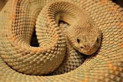 Coiled snake with sand colored scales. Close up of animal crotalus durissus unicolor from the Detroit Zoo. Sinuously wrapped, the snake is eyeing the camera with stock image