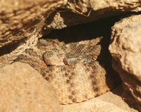 A Coiled Tiger Rattlesnake. Waits in the Rocks stock photography
