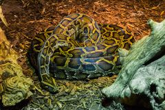 Coiled up big python snake laying on the ground tropical wildlife animal portrait. A coiled up big python snake laying on the ground tropical wildlife animal royalty free stock photo