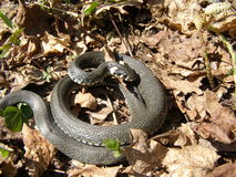Coiled up grass snake Royalty Free Stock Photos