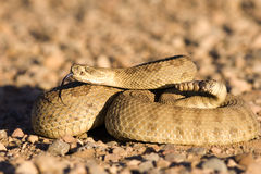 Coiled up rattlesnake. Sunning on a gravel road royalty free stock photo