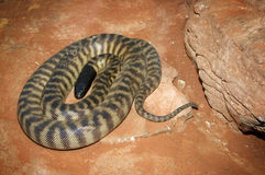 Coiled up Taipan Royalty Free Stock Image