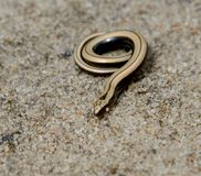 Coiling slow worm on sand Royalty Free Stock Images