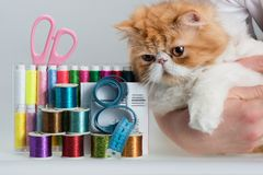 Coils with color threads, sewing needles, scissors. Sartorial centimeter and muzzle of a fluffy red kitten Royalty Free Stock Photography