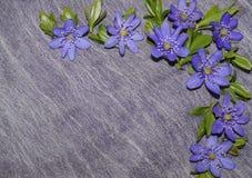 Coin floral de modèle - fleurs d'hépatique Photographie stock