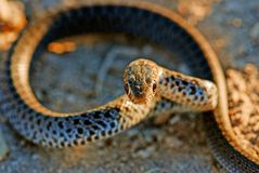 Coin-marked Snake also known as  leaden-colored racer. Ready to strike Royalty Free Stock Images