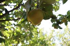 Coing dans un arbre dans une ferme organique photo libre de droits