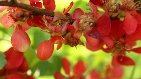 Coing de floraison Oblonga de Cydonia clips vidéos