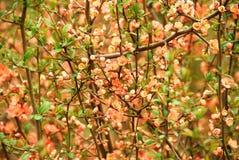 Coing fleurissant japonais (japonica de Chaenomeles) Images libres de droits