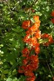 Coing japonais de floraison Image libre de droits