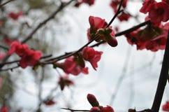 Coing japonais fleurissant photographie stock