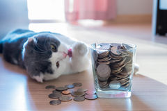 Coins in money jar saving money. Concept with scottish fold cat background stock photo