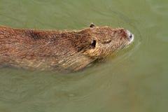 Coipo在水中 免版税库存图片
