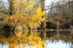 Coisas surpreendentes em torno de nós na natureza - arbusto dourado Imagens de Stock Royalty Free