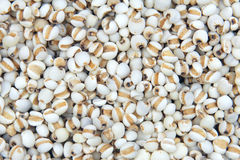 Coix seeds Royalty Free Stock Photography
