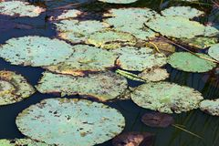 Cojín de lirio viejo en el lago Foto de archivo libre de regalías