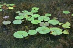 Cojines de Lilly en el agua de río clara con las hierbas abajo Imagenes de archivo