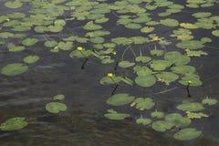 Cojines de lirio de agua en un lago Imágenes de archivo libres de regalías