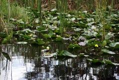 Cojines de lirio en los marismas parque nacional, la Florida, los E.E.U.U. fotografía de archivo