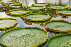 Cojines de lirio majestuosos del Amazonas en Asia tropical (Victoria Regia) Fotografía de archivo