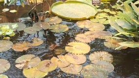 Cojines de lirio sobre la superficie del agua Blanda del Nymphaea del agua y amazonica de Victoria en una charca Flores tropicale